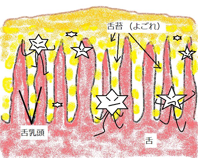 舌苔の図解