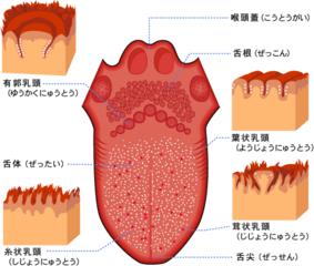 舌乳頭の図